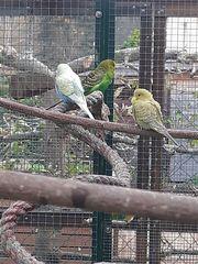 Wellensittich Paar mit Jungvogel Käfig