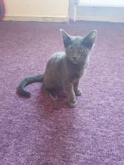 Britisch Kurzhaar Katze boncuk sucht