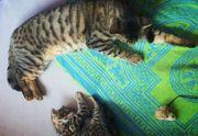 Bengal Kitten Brüder