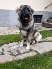 Wunderschöner Reinrassiger Kaukasischer schäferhund