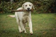Vorgeröngt - reinrassiger Labrador-Jungrüde in fawn