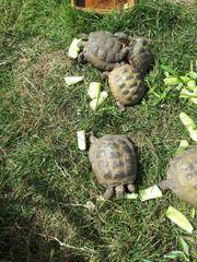 Weibliche Steppschildkröten abzugeben