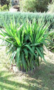 Yucca Palme sehr gepflegt - für