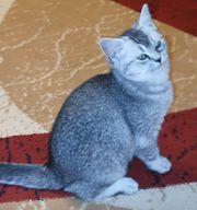 BKH Kitten Katzenbabys Nur 2