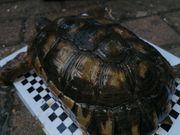 Landschildkröte Breitrand Marginata Testudo Weibchen