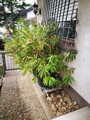 Oleander groß