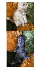 Scottisch Fold Babykatze Kitten