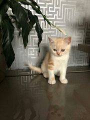 BKH Kätzchen abgabebereit