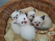 siam heilige Birma Katzenbabys Kitten
