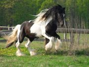 Deckanzeige Irish Cob Ster Preferent