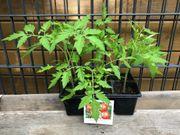 8 x Tomatenpflanzen - rot - ca