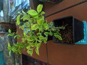 50 Goldliguster- Pflanzen
