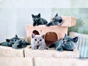 Fünf süße BKH Katzenbabys zu