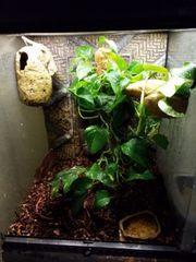 Kronengecko mit Terrarium und Zubehör