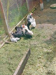 Chabo Hühner