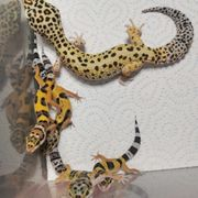 0 0 4 Leopardgeckos NZ