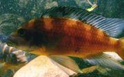 Pseudotropheus crabro - Chamäleon - Maulbrüter Zuchtgruppe