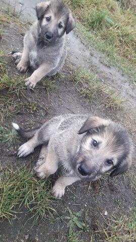 Hunde - Irischer Wolfshund Irish Wolfhound zu
