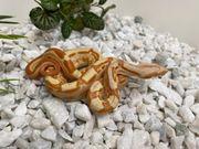 Boa Sunglow Albino Anerymotley 4