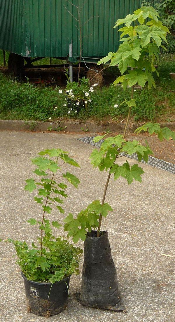 Ahorn Hartriegel Baum Busch Pflanzen