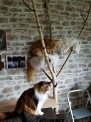 Kratzsäule Kletterbaum Natur Kratzbaum Birkenstämme
