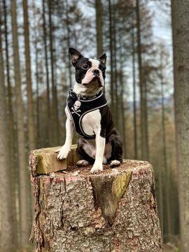 Hunde - Gesunde Deckrüde Boston Terrier