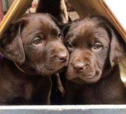 Labrador-Showlinie Welpen abgabebereit