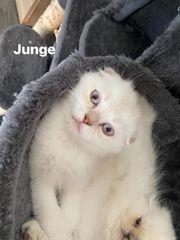 Scottish fold BHK kitten