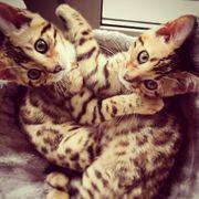 Bengalkatze Bengalcat Kitten