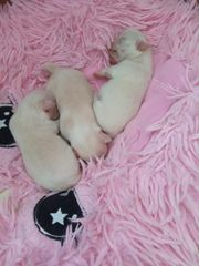 Chihuahua Baby Face Welpen