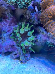 Entacmaea sp Grüne Mini-Anemone Meerwasser