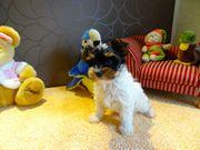 Wunderschöne Biewer Yorkshire Terrier Hündin