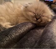 langhaar-fold Heiliger birma mix kitten