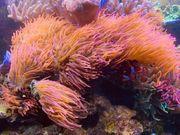 Entacmaea Quadricolor Blasenanemone Kupferanemone Meerwasser