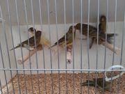 Timbrado Gesangskanarien Kanarienvogel bei Bedarf