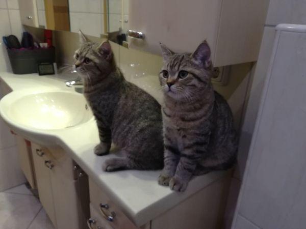 BKH junge Katzen