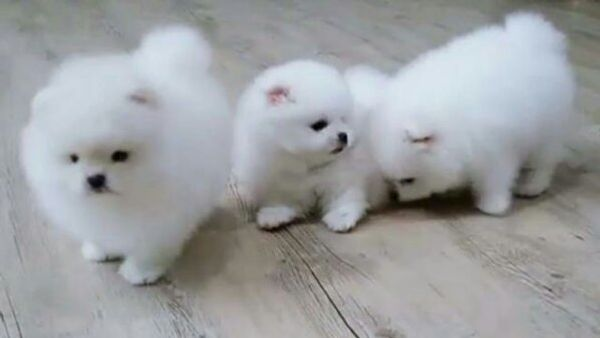 Super Susse Pomeranian Zwergspitz Welpen Suchen Ein Neues Zuhause In Koln Hunde Kaufen Und Verkaufen Uber Private Kleinanzeigen