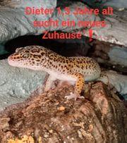 Leopardgecko Zucht Bock abzugeben