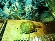 Costa-Rica-Pracht-Erdschildkröte