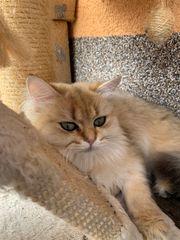 Britisch Langhaar Katze golden Shaded