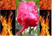 Verkaufe Samen Carolina Reaper Chili