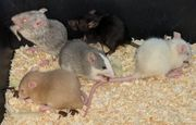 Ratten mit Charakter