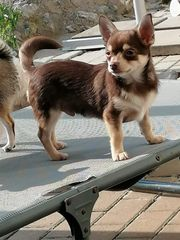 Pomchi Pomeranian Chihuahua - Hybrid schoko-tan