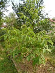 Walnussbaum Walnuss junger Baum junge