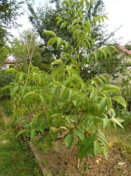 Pflanzen - Walnussbaum Walnuss junger Baum junge