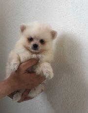 Zwergspitz Pomeranian Boo Mini Welpen