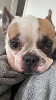 Französische Bulldogge Mischling
