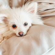 Pomeranian Welpe Mädchen