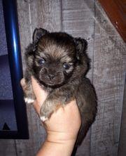 Pomeranian Chihuahua Pomchi