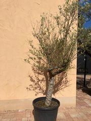 Olivenbaum mit dicken Stamm Höhe